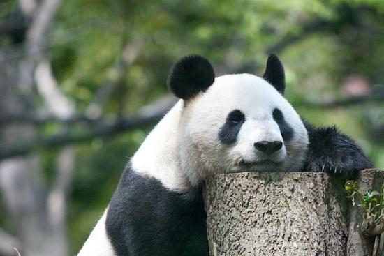 Melihat panda di kebun binatang Ueno