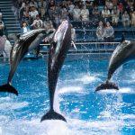Atraksi lumba-lumba di Maxell Aqua Park
