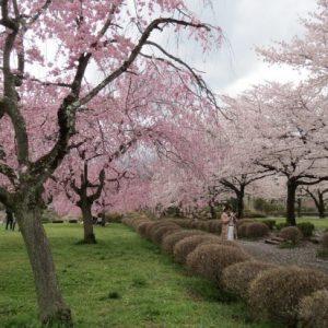 Berkunjung ke Hitsujiyama Park Sakura 2020
