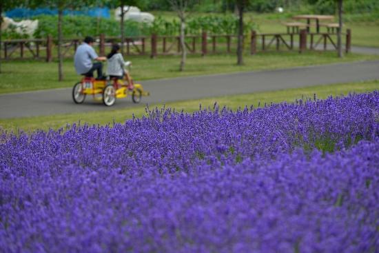 Bersepeda keliling kebun lavender Sapporo Satoland