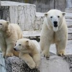 Beruang kutub di Kebun Binatang Maruyama