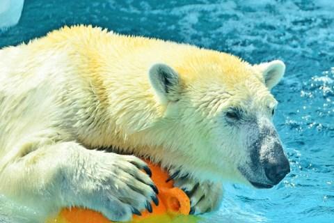Beruang kutub di Kebun Binatang Ueno