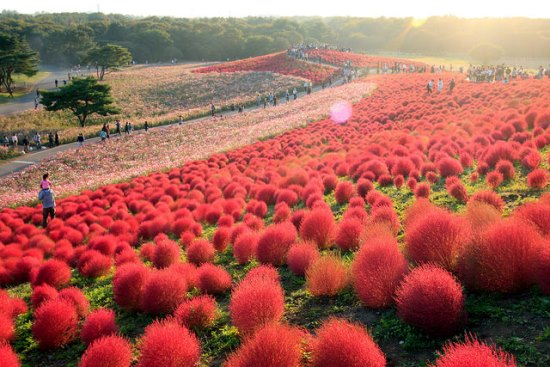 Bunga Cochia di Hitachi Seaside Park