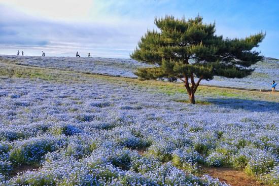 Bunga Nemophilia di Hitachi Seaside Park