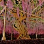 Bunga Wisteria di Taman Ashikaga