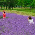 Bunga lavender di Sapporo Satoland