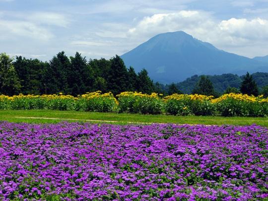 Bunga lavender ungu di Tottori Hanakairo