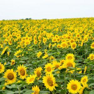 Bunga matahari mekar sempurna saat Festival Bunga Matahari Hokuryu