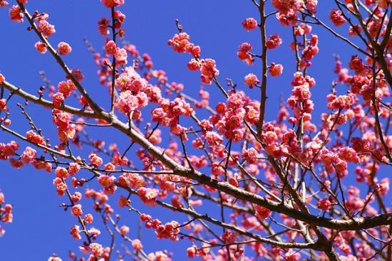 Bunga plum mekar di Atami Plum Garden