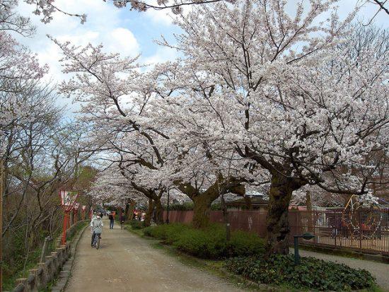 Bunga sakura di Kastil Takaoka