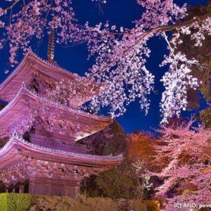 Bunga sakura di Kuil Miidera