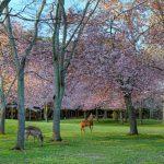 Bunga sakura di Nara Park