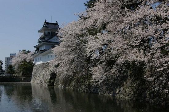 Bunga sakura di Taman Kastil Toyama