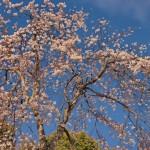 Bunga sakura di Taman Maruyama