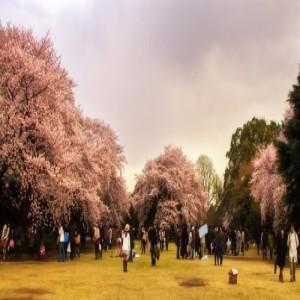 Bunga sakura di Taman Shinjuku Gyoen