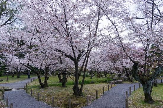 Bunga sakura di Taman Shoseien Kyoto