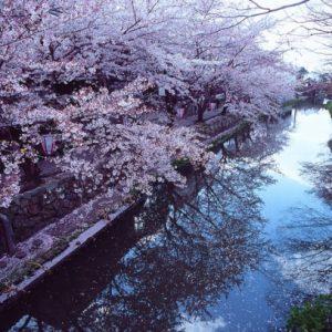 Bunga sakura di kanal Omi Hachiman