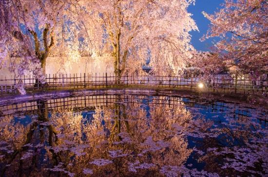 Bunga sakura di kompleks taman Kastil Himeji
