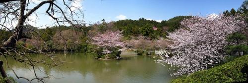 Bunga sakura mekar di pinggir danau Kuil Ryoanji