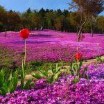 Bunga tulip di Kebun Bunga Takinoue