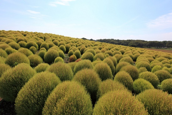 Cochia bewarna hijau saat musim panas