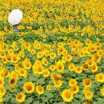 Di tengah-tengah Kebun Bunga Matahari Akeno