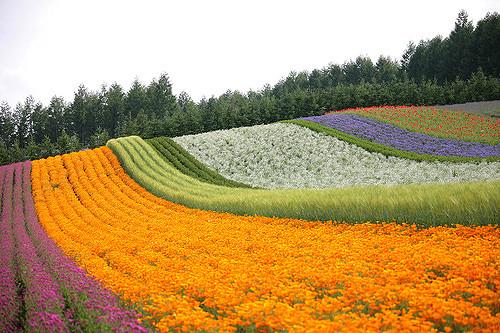 Farm Tomita di Furano Hokkaido