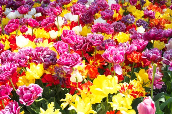 Festival mawar di Nabana no Sato