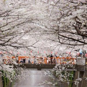 Festival sakura di Meguro River