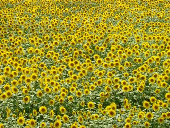 Foto bunga matahari di Kebun Bunga Matahari Akeno