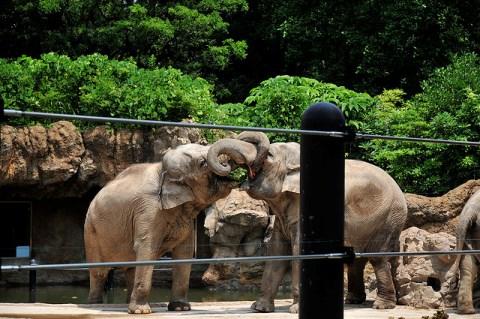 Gajah di Kebun Binatang Ueno