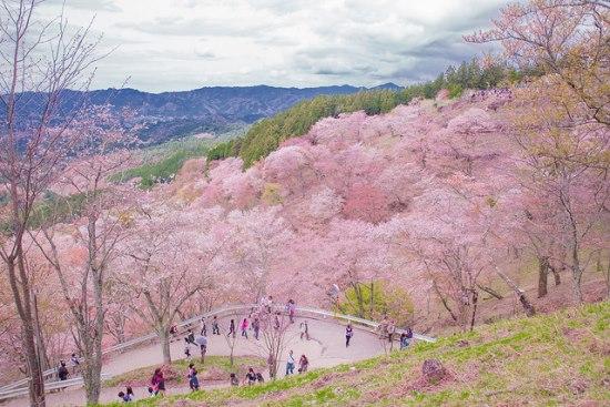 Gunung Yoshino saat Festival Sakura Yoshino