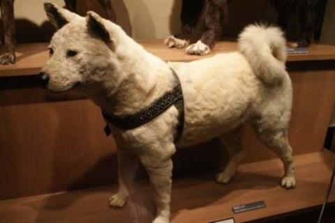 Hachiko di Museum Nasional Alam dan Sains Tokyo