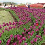 Hamparan bunga tulip di Taman Bunga Grinpa