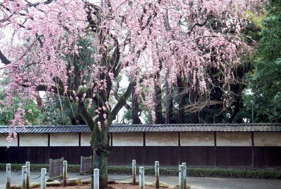 Hanami bunga sakura di Kuil Gotokuji
