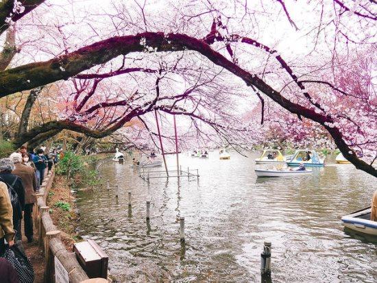 Hanami di Inokashira Park Tokyo