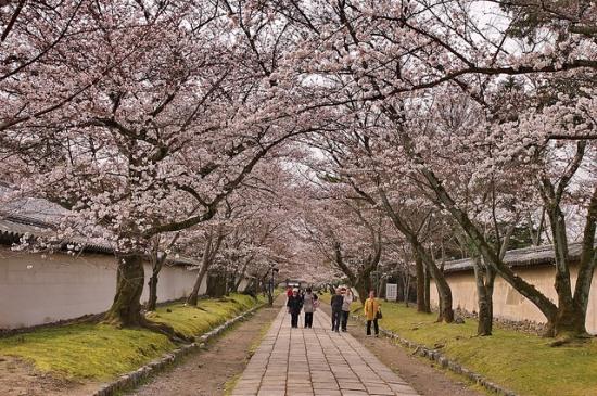 Hanami di Kuil Daigoji Kyoto