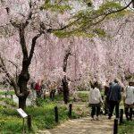 Hanami sakura di Taman Botani Kyoto