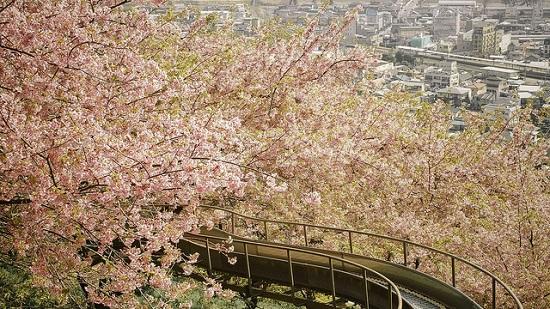 Hanami sakura di Taman Nishi-Hirahatake Odawara