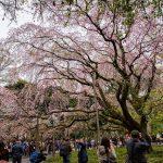 Hanami sakura di Taman Rikugien Tokyo