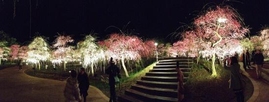 Iluminasi pohon plum di musim semi