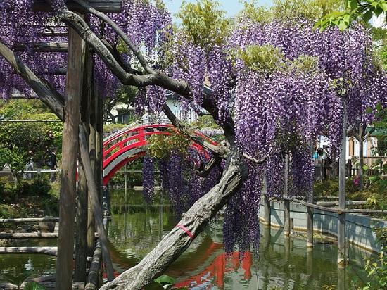 Indahnya bunga wisteria yang mekar di Kameido Tenjin Shrine