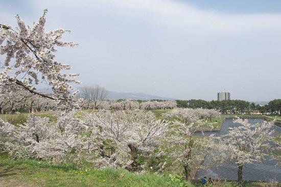 Indahnya hanami sakura di Fort Goryokaku