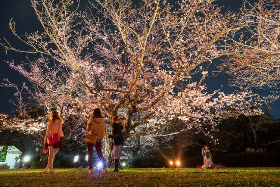 Info Wisata di Hakata Sakura di Fukuoka Castle