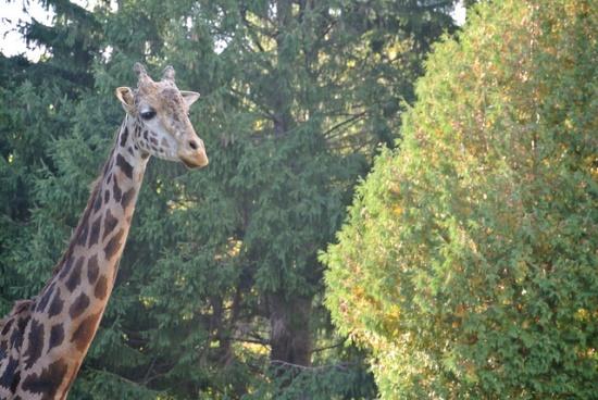 Jerapah di Kebun Binatang Maruyama