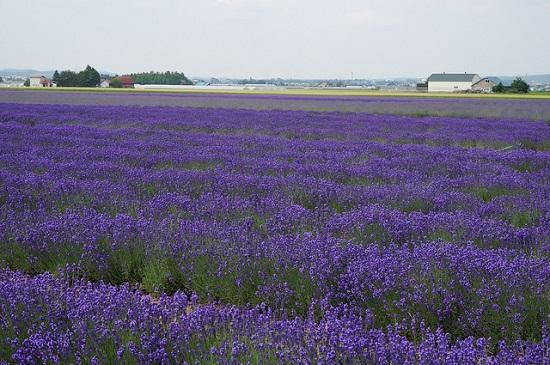 Kebun bunga lavender di Furano Hokkaido