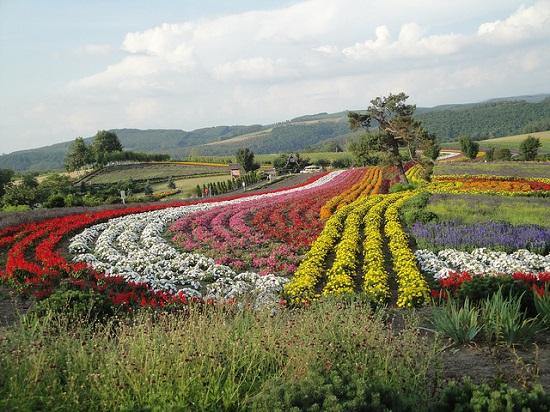 Kebun bunga warna warni di Biei