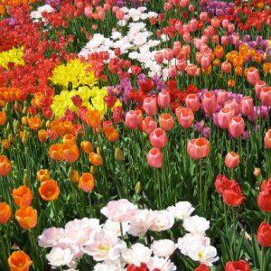 Keindahan Festival Bunga Tulip Tonami