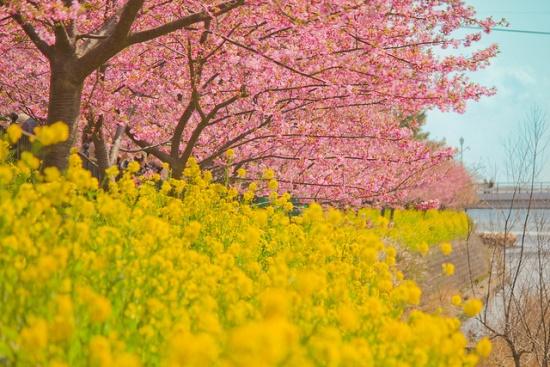 Keindahan Kawazu Sakura