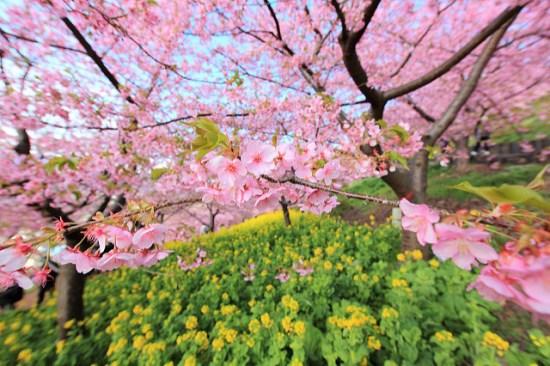 Keindahan Matsuda Sakura Festival